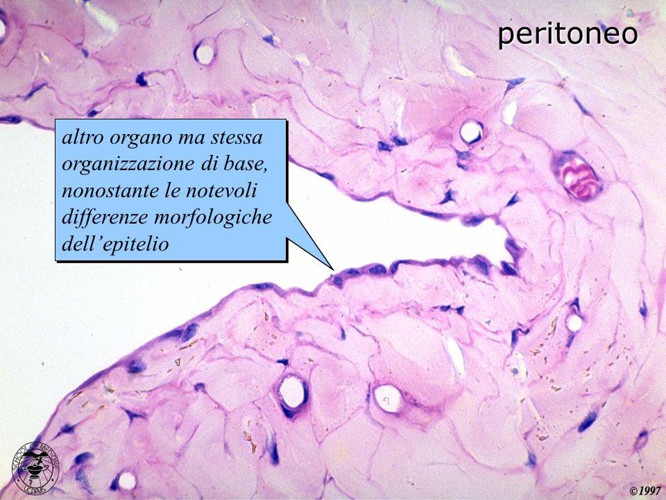 peritoneo altro organo ma stessa organizzazione di base, nonostante le notevoli differenze morfologiche dellepitelio
