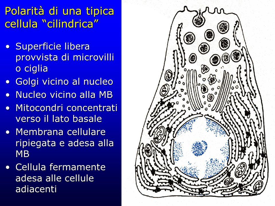 Polarità di una tipica cellula cilindrica Superficie libera provvista di microvilli o cigliaSuperficie libera provvista di microvilli o ciglia Golgi v