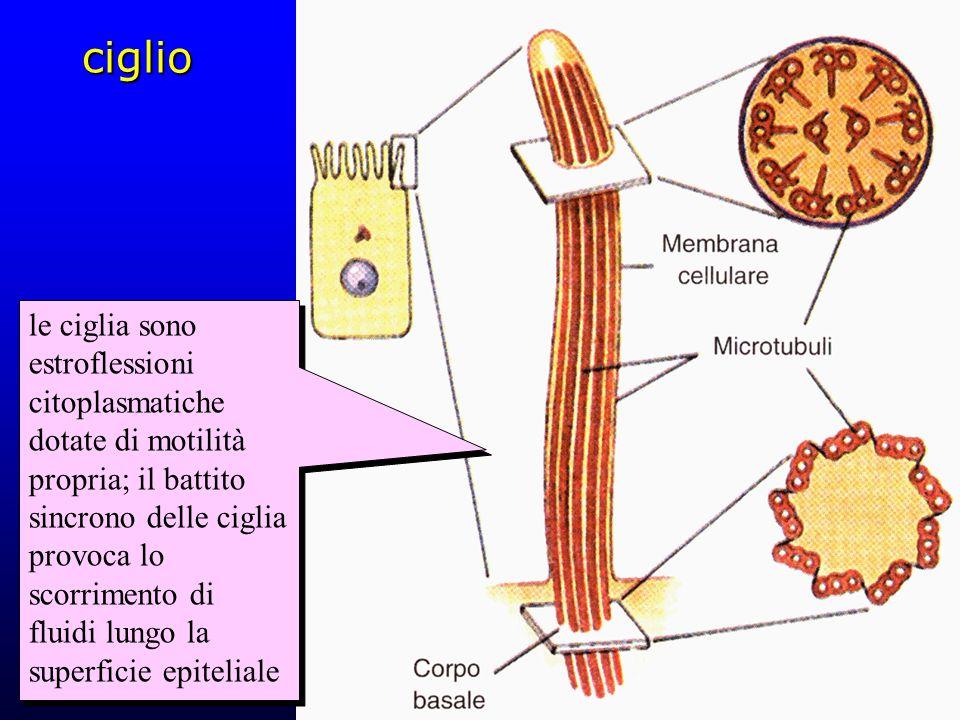 ciglio le ciglia sono estroflessioni citoplasmatiche dotate di motilità propria; il battito sincrono delle ciglia provoca lo scorrimento di fluidi lun