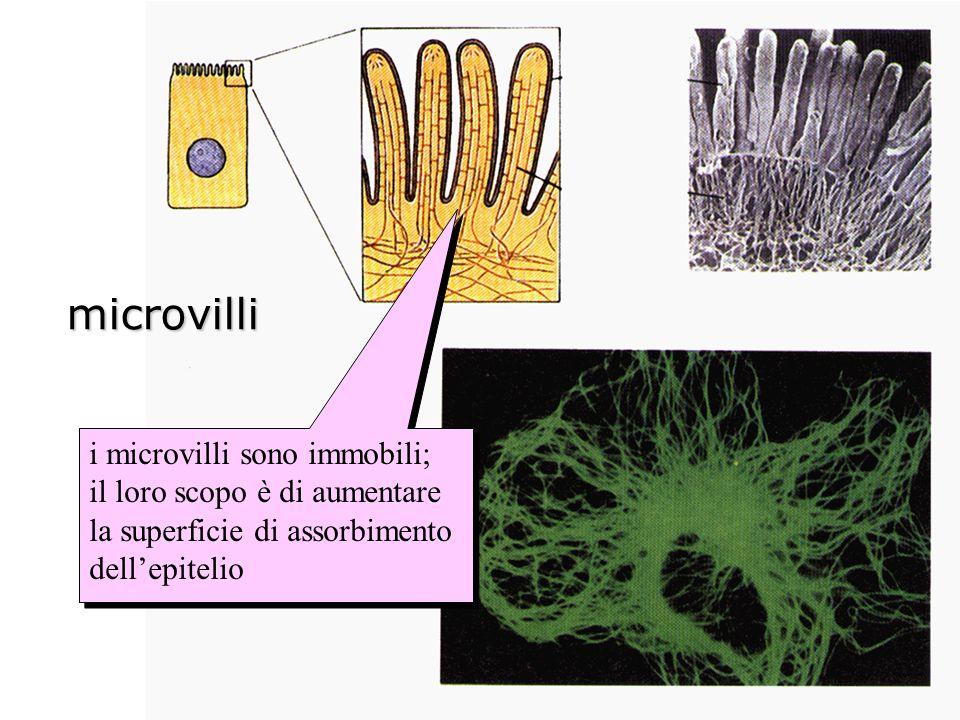 microvilli i microvilli sono immobili; il loro scopo è di aumentare la superficie di assorbimento dellepitelio i microvilli sono immobili; il loro sco