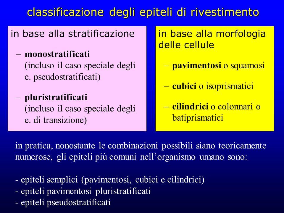classificazione degli epiteli di rivestimento in base alla stratificazione –monostratificati (incluso il caso speciale degli e. pseudostratificati) –p