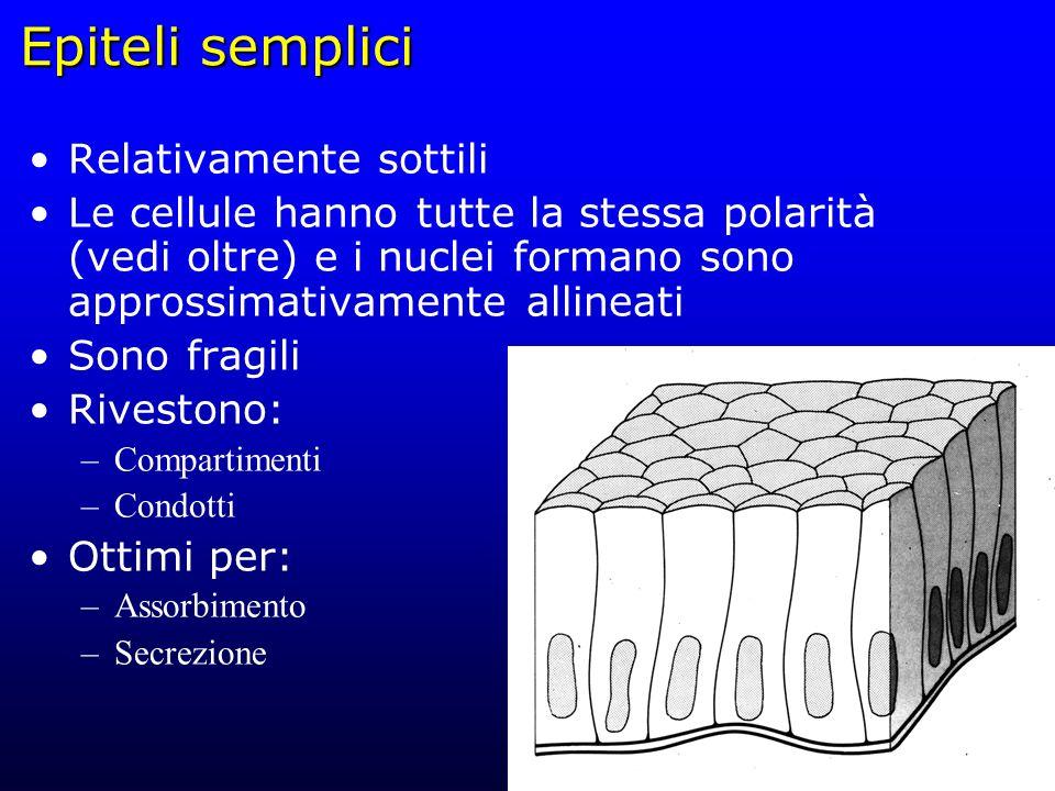 Epiteli semplici Relativamente sottili Le cellule hanno tutte la stessa polarità (vedi oltre) e i nuclei formano sono approssimativamente allineati So