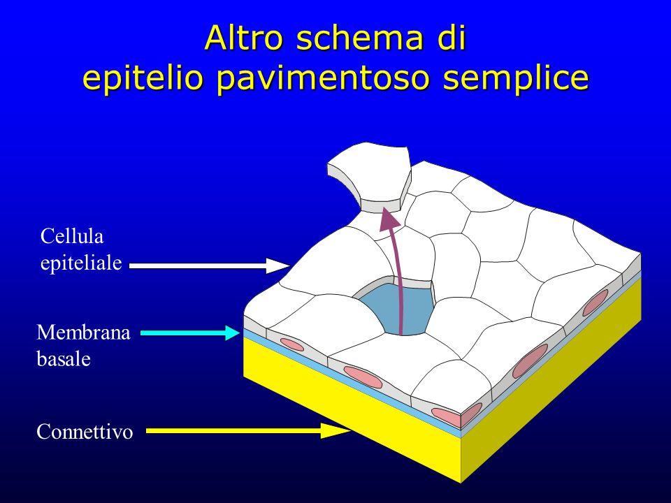 Altro schema di epitelio pavimentoso semplice Cellula epiteliale Membrana basale Connettivo