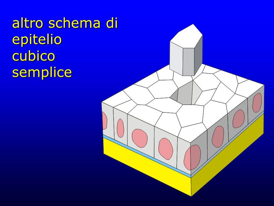 altro schema di epitelio cubico semplice