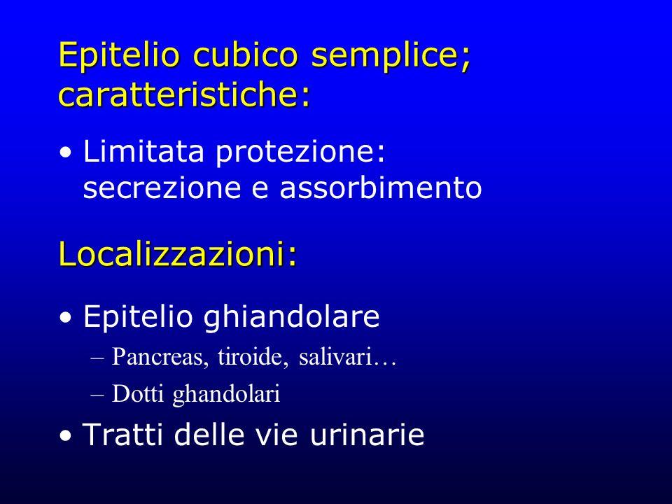 Epitelio cubico semplice; caratteristiche: Limitata protezione: secrezione e assorbimento Epitelio ghiandolare –Pancreas, tiroide, salivari… –Dotti gh