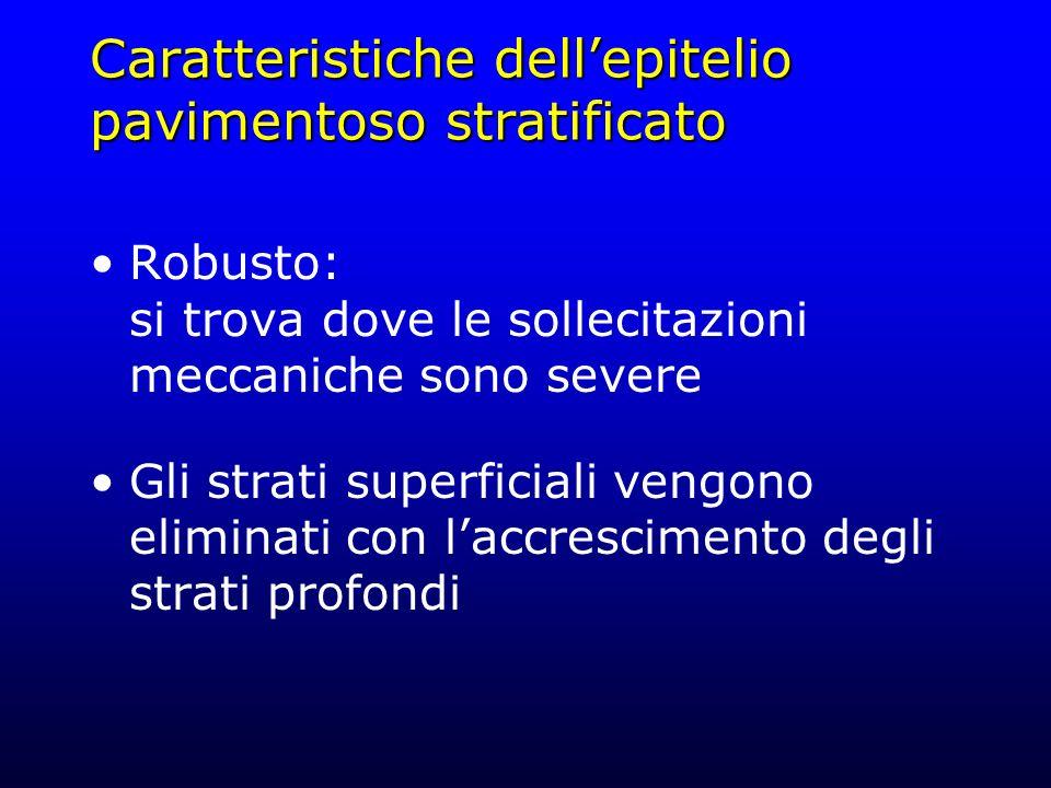 Caratteristiche dellepitelio pavimentoso stratificato Robusto: si trova dove le sollecitazioni meccaniche sono severe Gli strati superficiali vengono