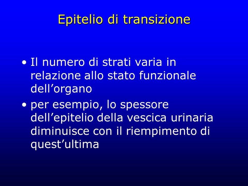 Epitelio di transizione Il numero di strati varia in relazione allo stato funzionale dellorgano per esempio, lo spessore dellepitelio della vescica ur