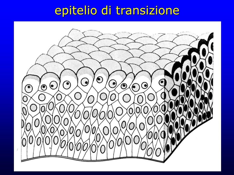 epitelio di transizione