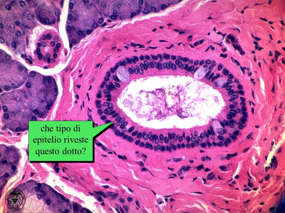 che tipo di epitelio? che tipo di epitelio riveste questo dotto?