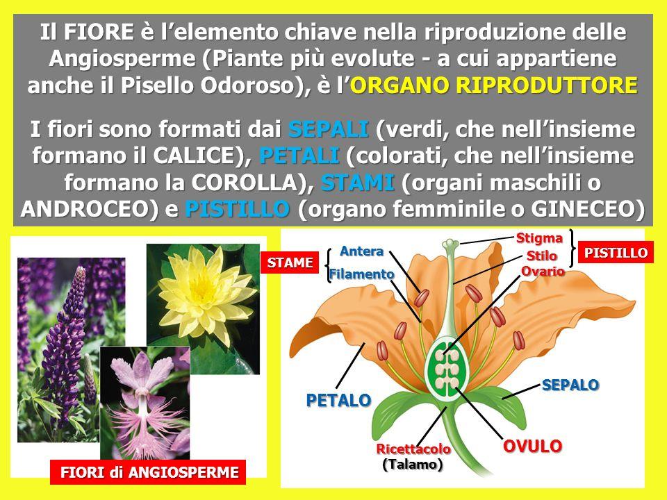 Il FIORE è lelemento chiave nella riproduzione delle Angiosperme (Piante più evolute - a cui appartiene anche il Pisello Odoroso), è lORGANO RIPRODUTT