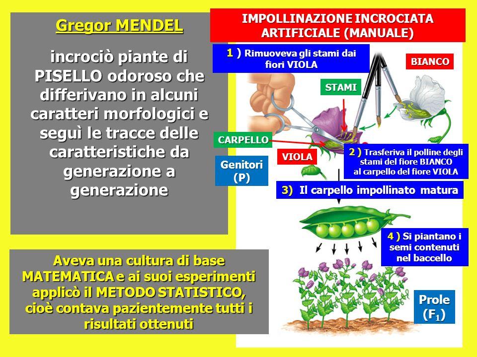 Gregor MENDEL incrociò piante di PISELLO odoroso che differivano in alcuni caratteri morfologici e seguì le tracce delle caratteristiche da generazion