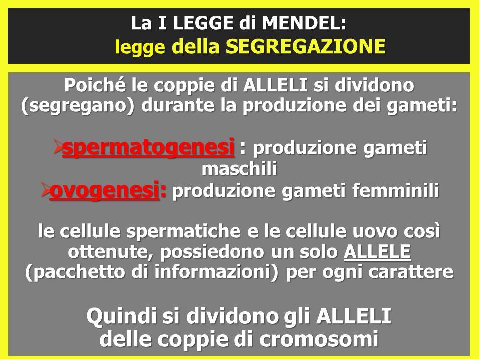 Poiché le coppie di ALLELI si dividono (segregano) durante la produzione dei gameti: spermatogenesi : produzione gameti maschili spermatogenesi : prod