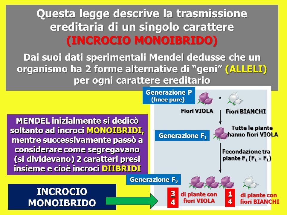 MENDEL inizialmente si dedicò soltanto ad incroci MONOIBRIDI, mentre successivamente passò a considerare come segregavano (si dividevano) 2 caratteri