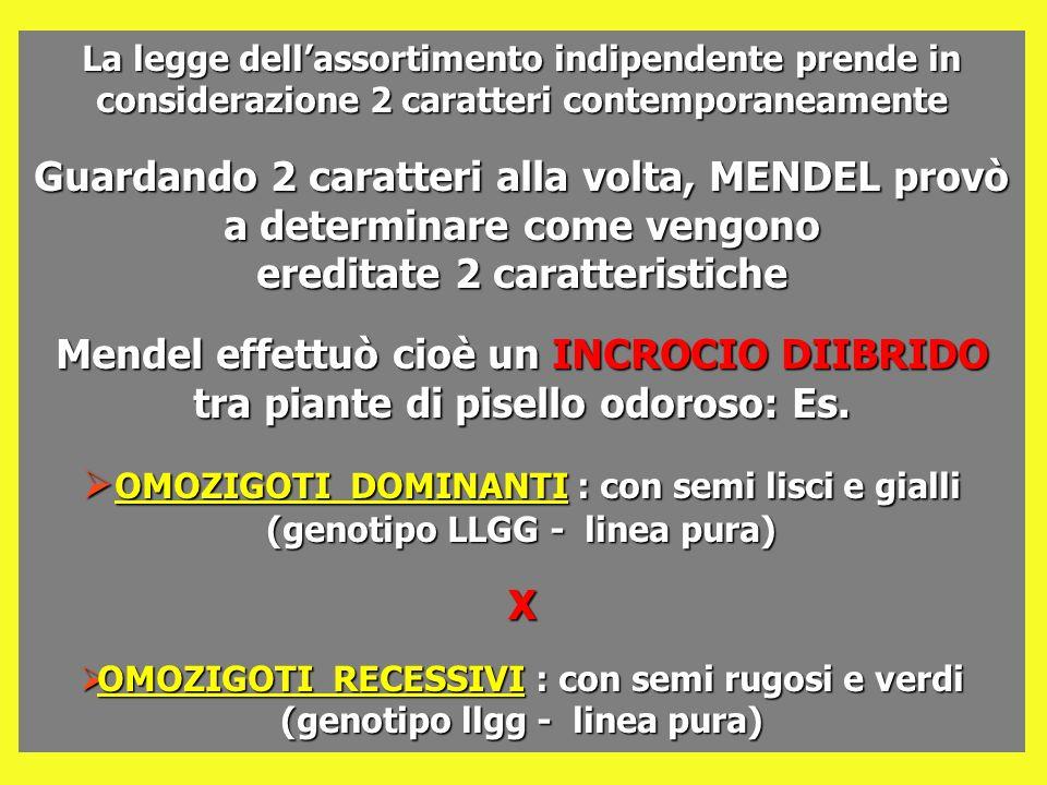 La legge dellassortimento indipendente prende in considerazione 2 caratteri contemporaneamente Guardando 2 caratteri alla volta, MENDEL provò a determ