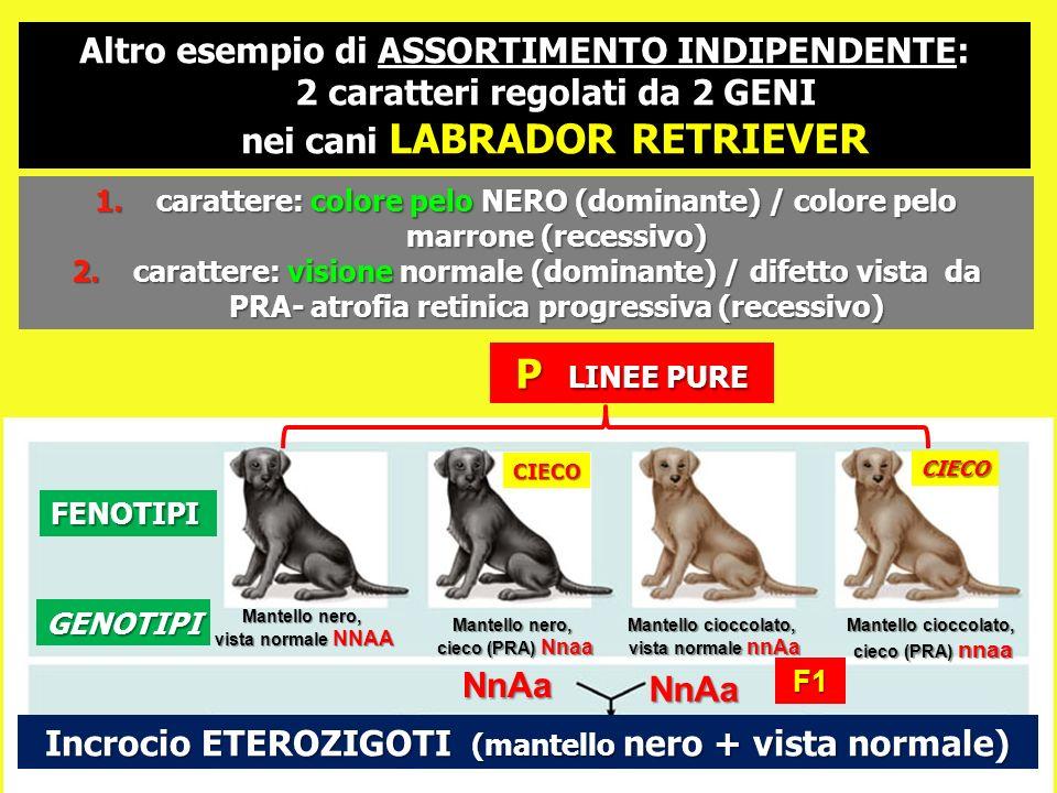 1.carattere: colore pelo NERO (dominante) / colore pelo marrone (recessivo) 2.carattere: visione normale (dominante) / difetto vista da PRA- atrofia r