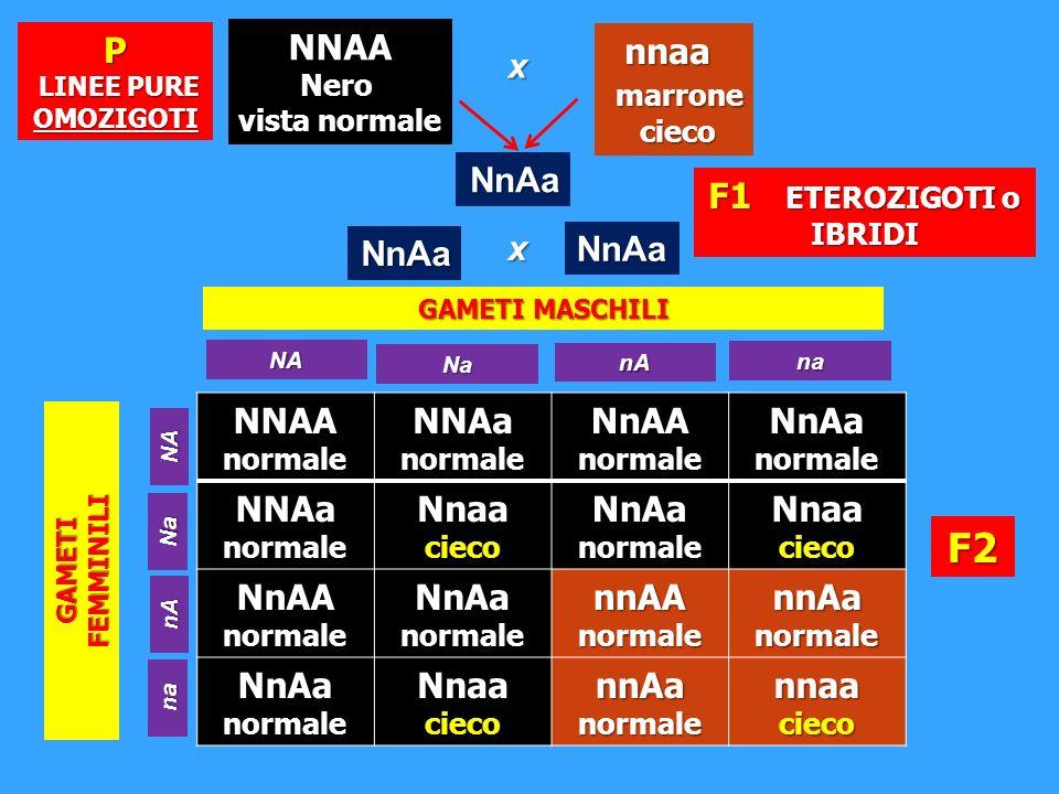 NNAA normale NNAa normale NnAA normale NnAa normale NNAanormale Nnaa cieco NnAa normale Nnaa cieco NnAA normale NnAa normale nnAA normale nnAa normale