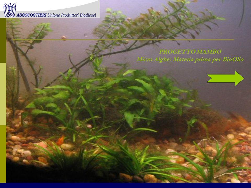 PROGETTO MAMBO Micro Alghe: Materia prima per BioOlio