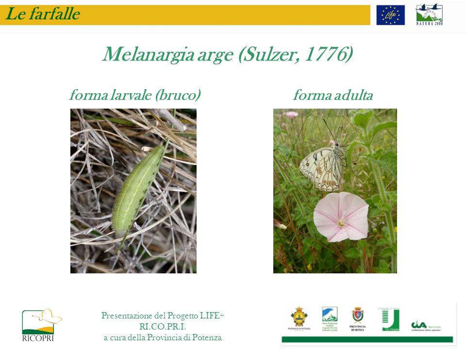 Le farfalle Melanargia arge (Sulzer, 1776) forma larvale (bruco) forma adulta Presentazione del Progetto LIFE+ RI.CO.PR.I. a cura della Provincia di P