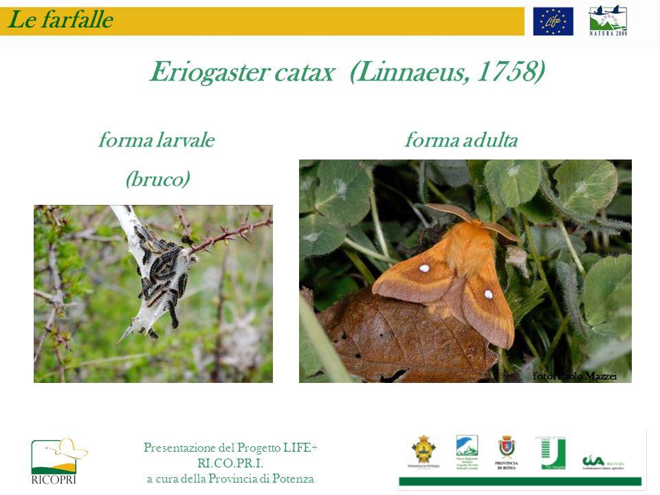Le farfalle forma larvale (bruco) forma adulta Eriogaster catax (Linnaeus, 1758) foto: Paolo Mazzei Presentazione del Progetto LIFE+ RI.CO.PR.I. a cur