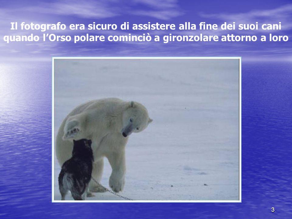 3 Il fotografo era sicuro di assistere alla fine dei suoi cani quando lOrso polare cominciò a gironzolare attorno a loro