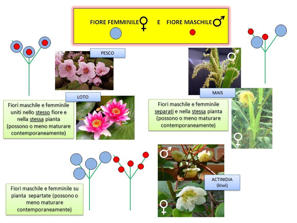 RIPRODUZIONE GAMICA (o SESSUALE) E il procedimento naturale, cioè la moltiplicazione tramite la fecondazione del pistillo (parte femminile del fiore)