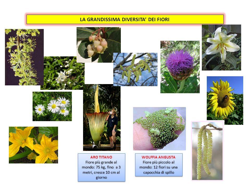 FIORE FEMMINILE E FIORE MASCHILE Fiori maschile e femminile uniti nello stesso fiore e nella stessa pianta (possono o meno maturare contemporaneamente