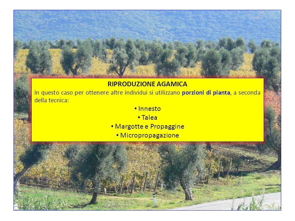 SALICESALICE PINO DI MONTEREY PRIMULAPRIMULA AGRIFOGLIOAGRIFOGLIO MALVAMALVA PLATANOPLATANO OLIVOOLIVO