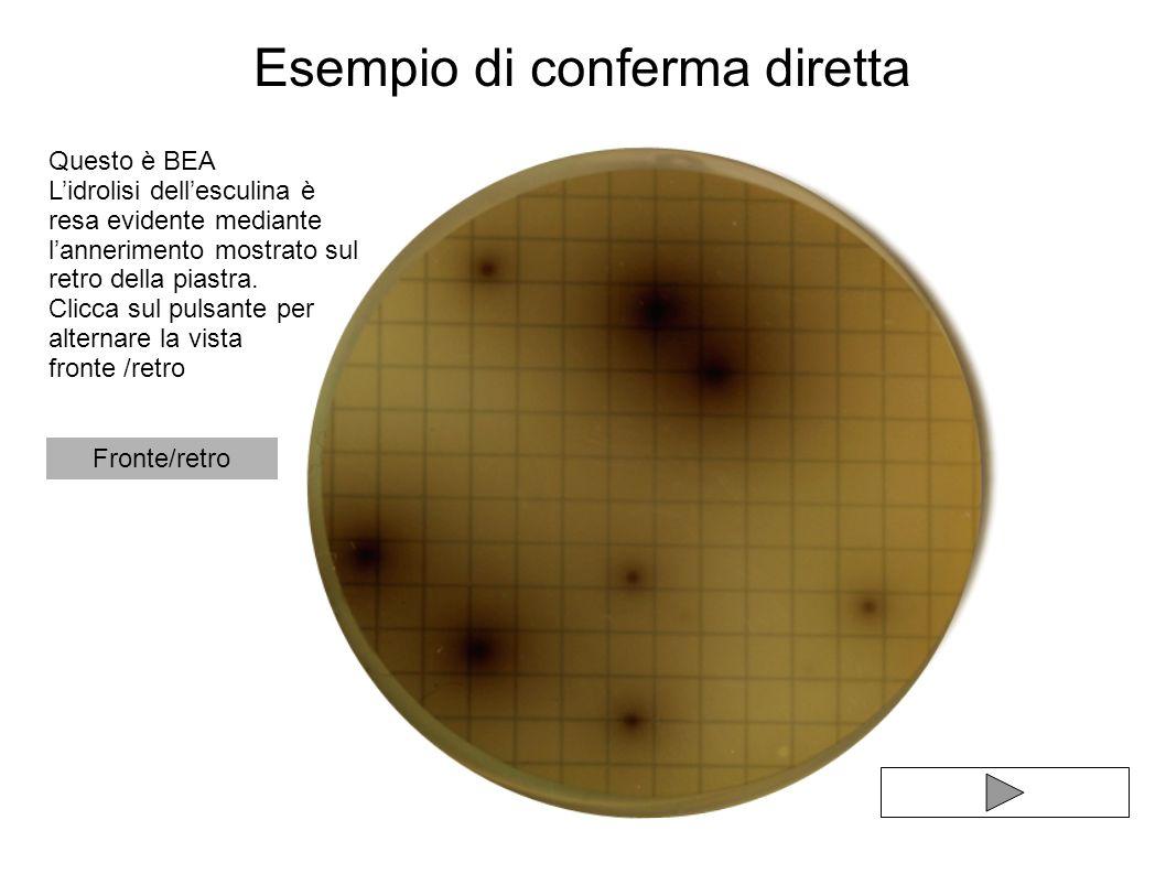 Esempio di conferma diretta Questo è BEA Lidrolisi dellesculina è resa evidente mediante lannerimento mostrato sul retro della piastra. Clicca sul pul