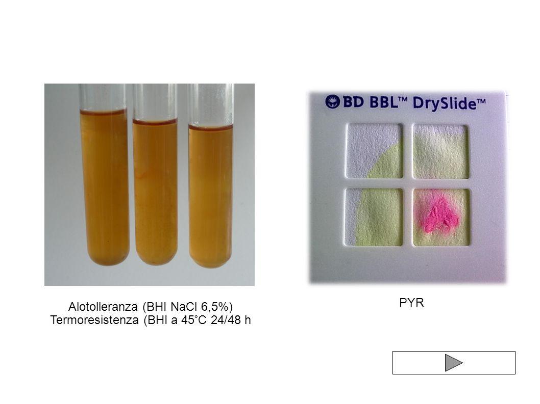 Alotolleranza (BHI NaCl 6,5%) Termoresistenza (BHI a 45°C 24/48 h PYR