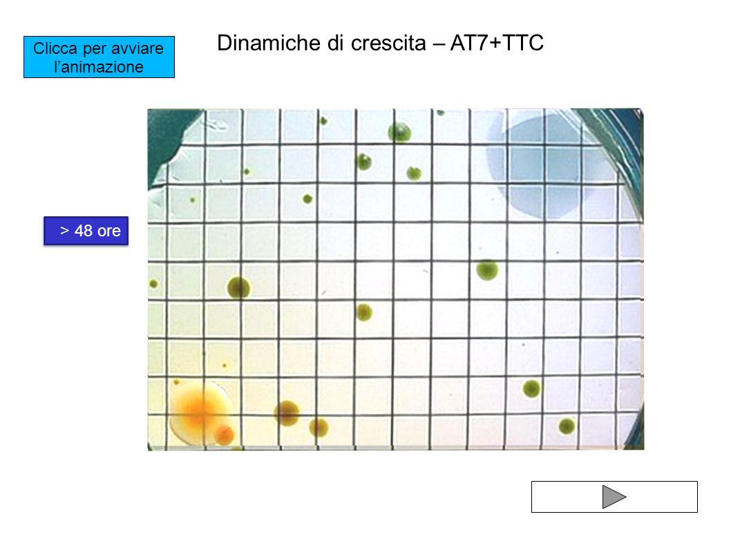 Clicca per avviare lanimazione 16 ore 24 ore> 48 ore Dinamiche di crescita – AT7+TTC