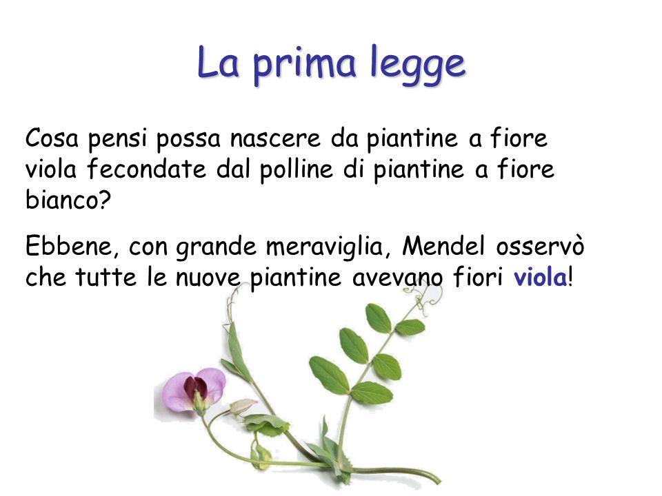 La prima legge Cosa pensi possa nascere da piantine a fiore viola fecondate dal polline di piantine a fiore bianco? Ebbene, con grande meraviglia, Men
