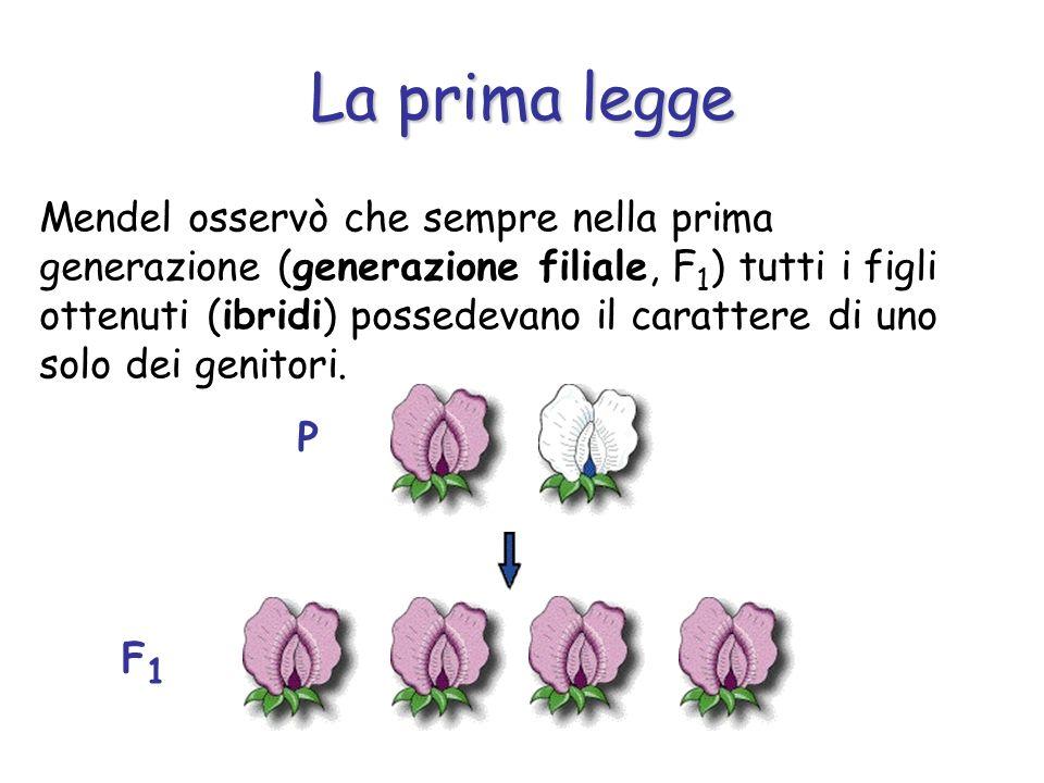 La prima legge Mendel osservò che sempre nella prima generazione (generazione filiale, F 1 ) tutti i figli ottenuti (ibridi) possedevano il carattere