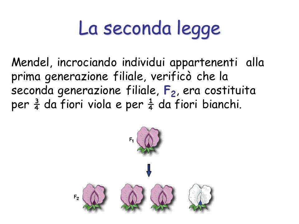 La seconda legge Mendel, incrociando individui appartenenti alla prima generazione filiale, verificò che la seconda generazione filiale, F 2, era cost