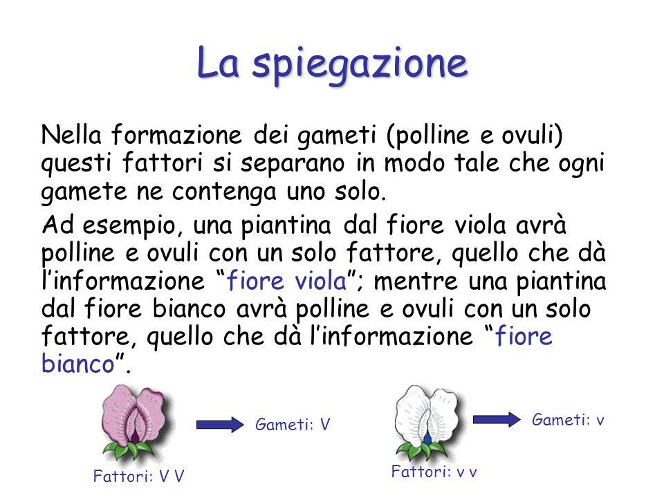 Nella formazione dei gameti (polline e ovuli) questi fattori si separano in modo tale che ogni gamete ne contenga uno solo. Ad esempio, una piantina d