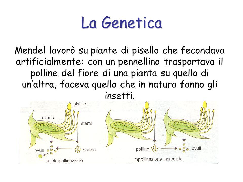 Mendel lavorò su piante di pisello che fecondava artificialmente: con un pennellino trasportava il polline del fiore di una pianta su quello di unaltr
