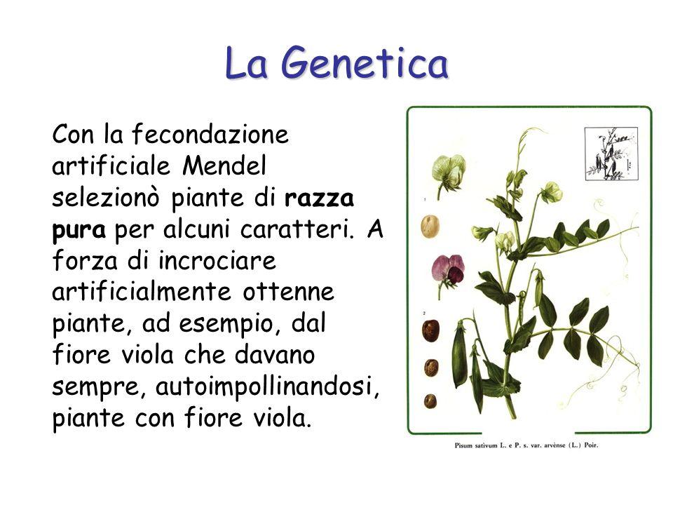 Con la fecondazione artificiale Mendel selezionò piante di razza pura per alcuni caratteri. A forza di incrociare artificialmente ottenne piante, ad e
