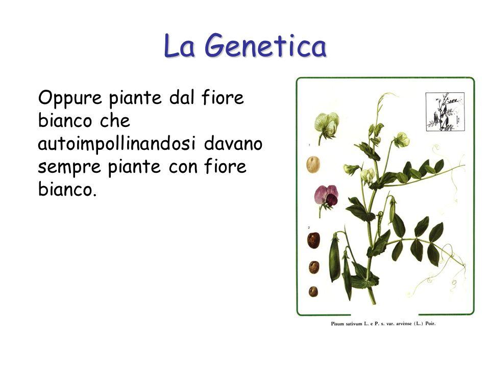 La Genetica Oppure piante dal seme liscio che, autoimpollinandosi, davano luogo a discendenti sempre con il seme liscio o piante dal seme rugoso che originavano sempre piante con il seme rugoso.