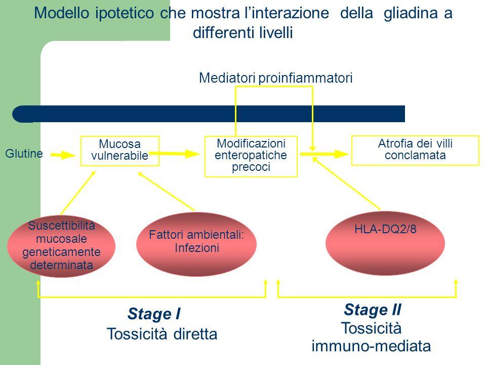 Glutine Mucosa vulnerabile Modificazioni enteropatiche precoci Atrofia dei villi conclamata HLA-DQ2/8 Fattori ambientali: Infezioni Suscettibilità muc
