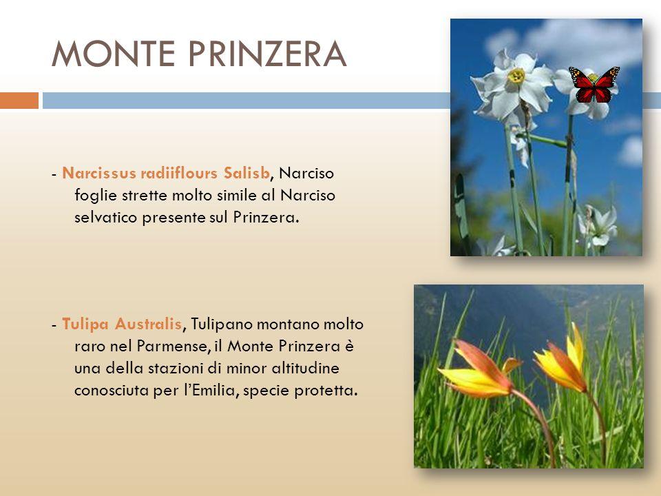 MONTE PRINZERA - Narcissus radiiflours Salisb, Narciso foglie strette molto simile al Narciso selvatico presente sul Prinzera. - Tulipa Australis, Tul