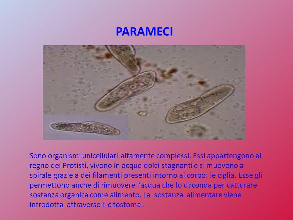 PARAMECI Sono organismi unicellulari altamente complessi. Essi appartengono al regno dei Protisti, vivono in acque dolci stagnanti e si muovono a spir
