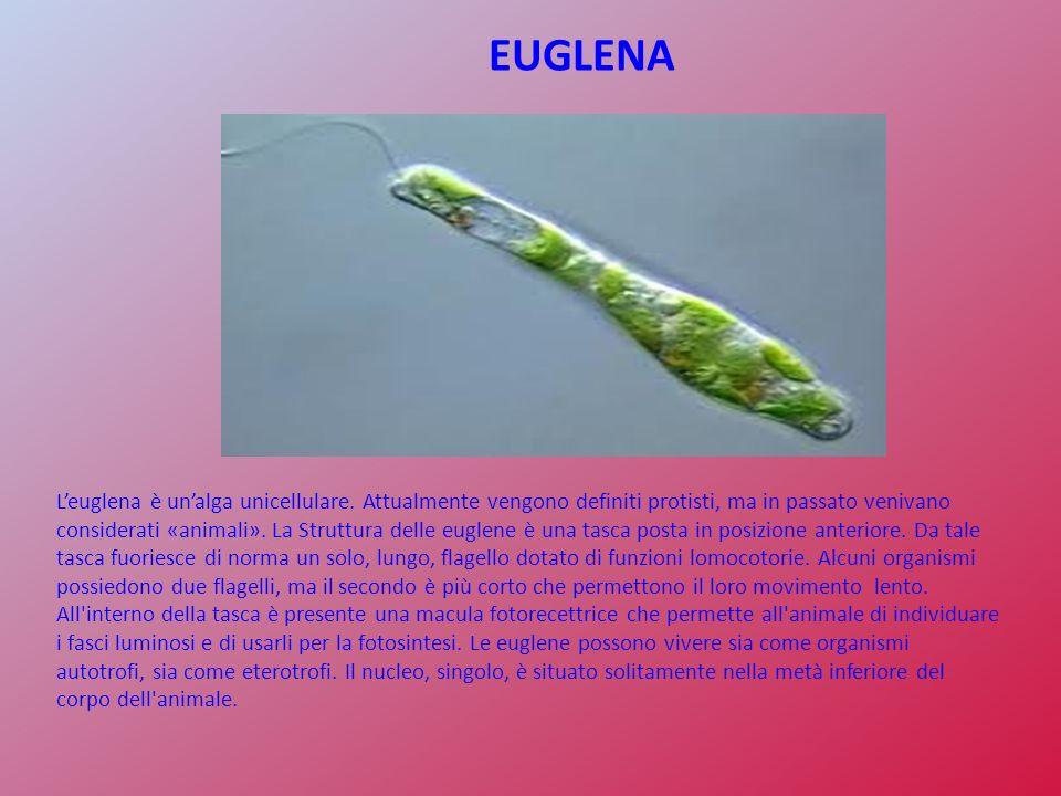 EUGLENA Leuglena è unalga unicellulare. Attualmente vengono definiti protisti, ma in passato venivano considerati «animali». La Struttura delle euglen