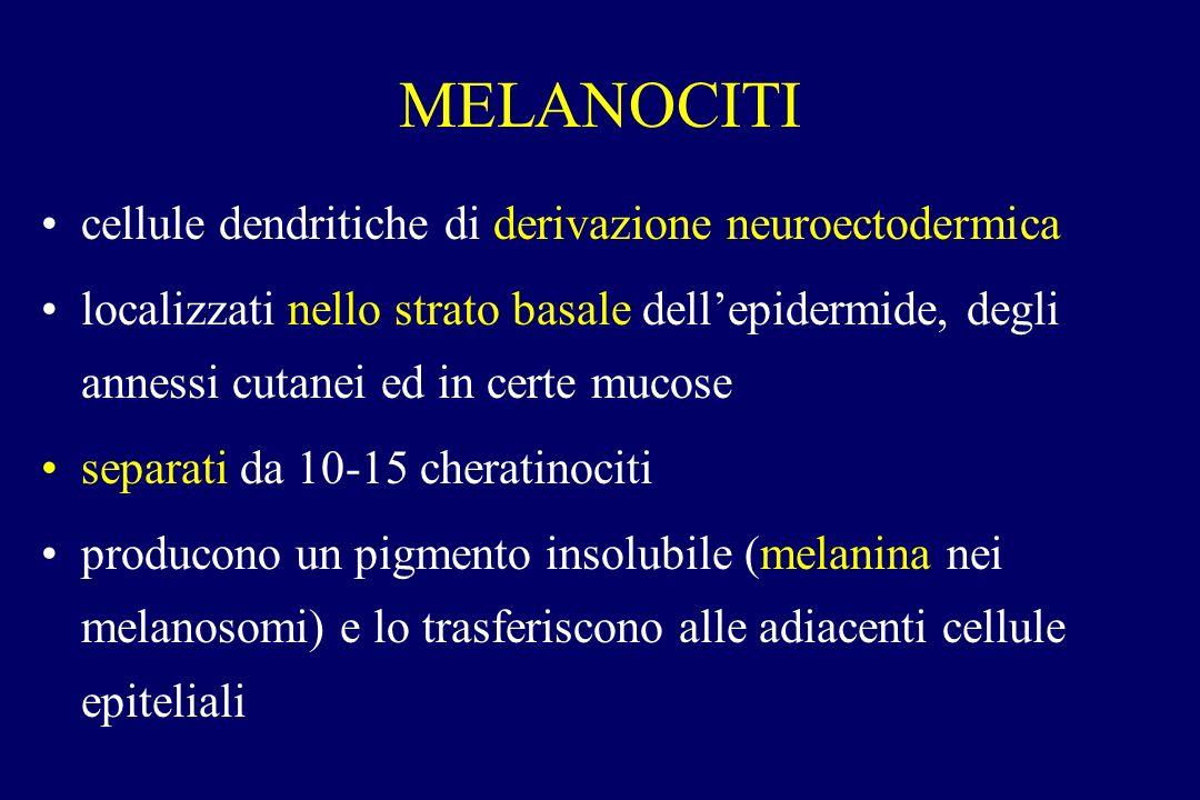 MELANOCITI cellule dendritiche di derivazione neuroectodermica localizzati nello strato basale dellepidermide, degli annessi cutanei ed in certe mucos