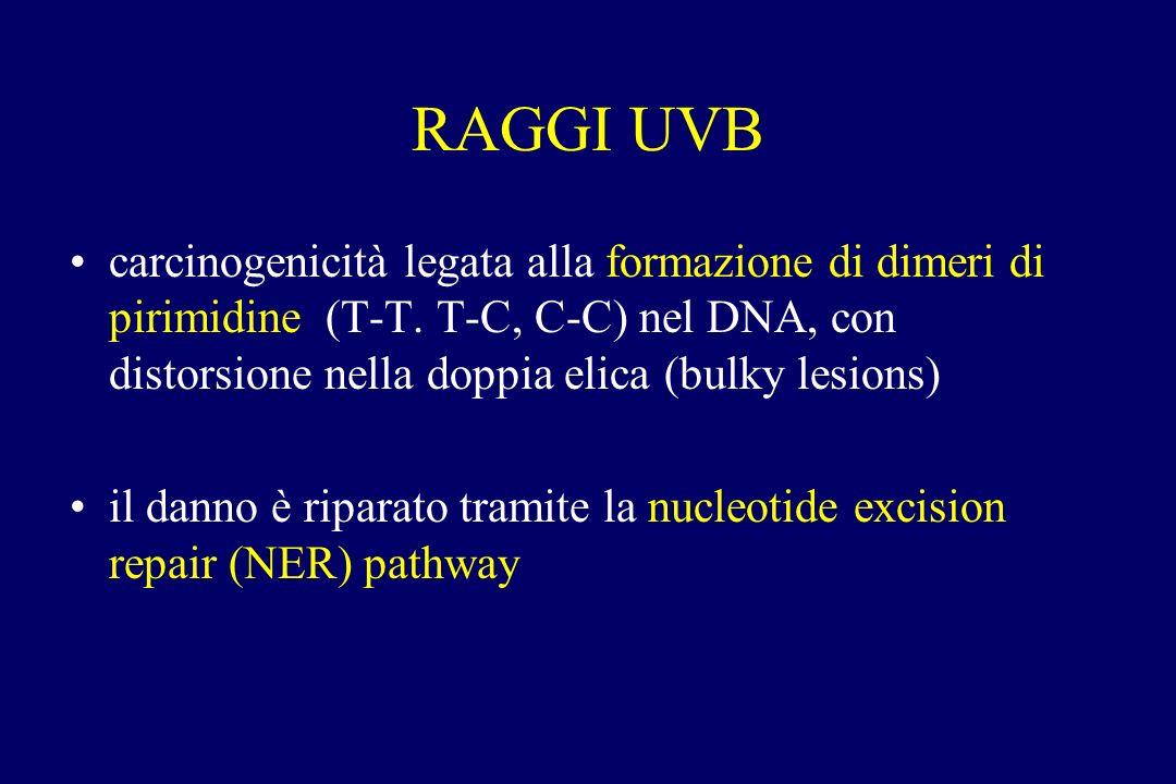 RAGGI UVB carcinogenicità legata alla formazione di dimeri di pirimidine (T-T. T-C, C-C) nel DNA, con distorsione nella doppia elica (bulky lesions) i