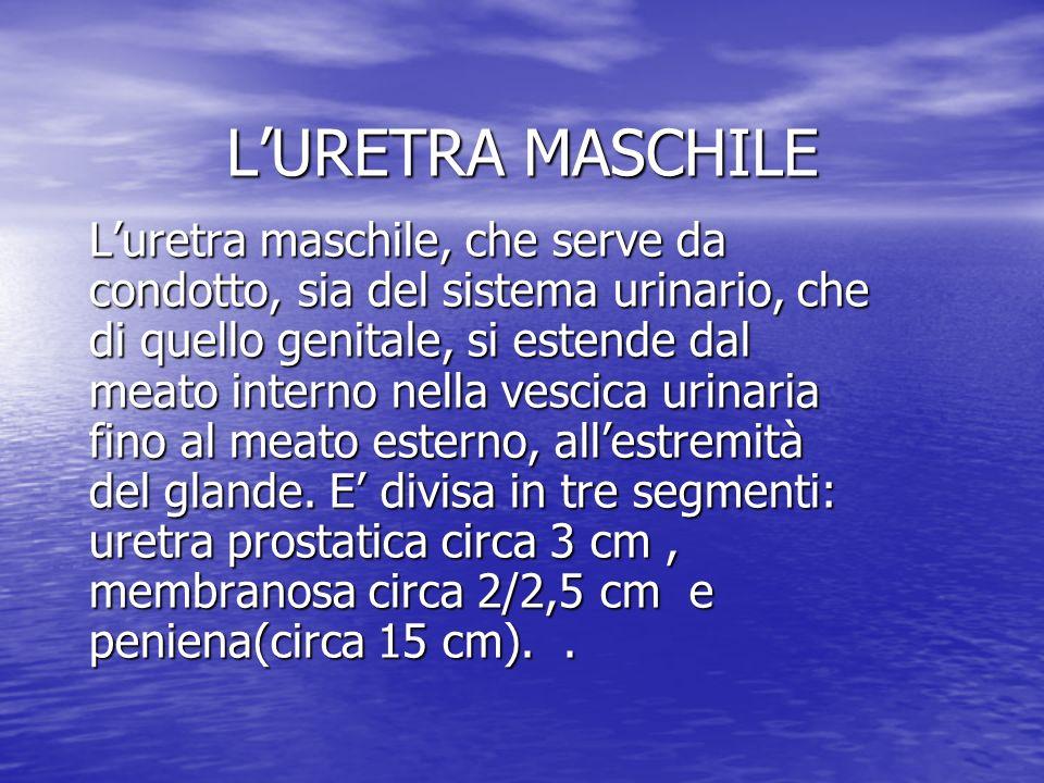 LURETRA MASCHILE Luretra maschile, che serve da condotto, sia del sistema urinario, che di quello genitale, si estende dal meato interno nella vescica urinaria fino al meato esterno, allestremità del glande.