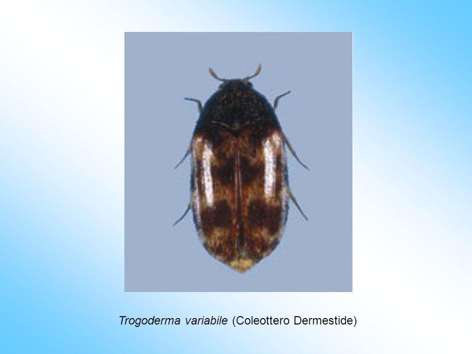 Trogoderma variabile (Coleottero Dermestide)