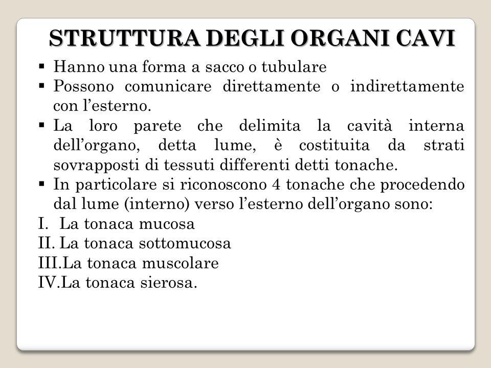 STRUTTURA DEGLI ORGANI CAVI Hanno una forma a sacco o tubulare Possono comunicare direttamente o indirettamente con lesterno. La loro parete che delim
