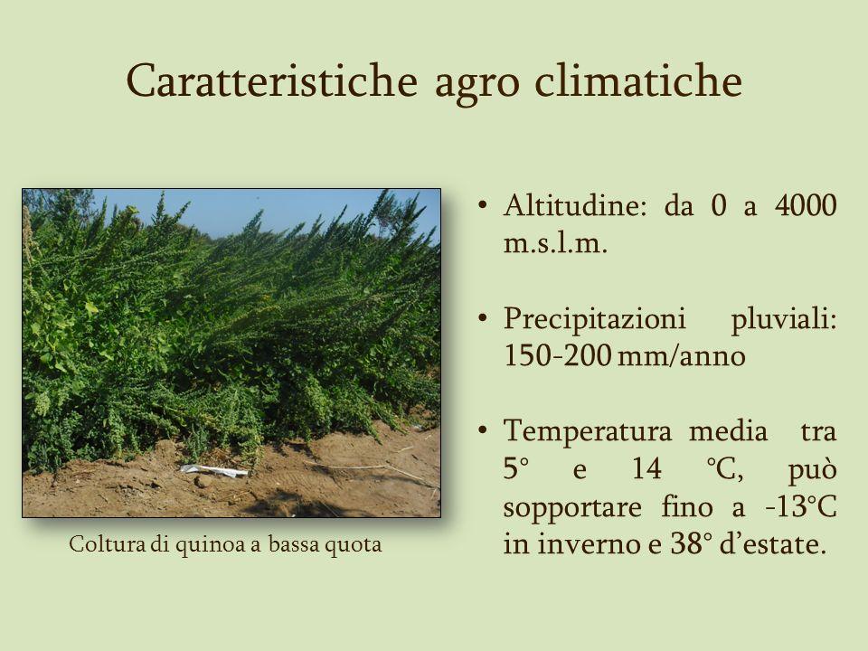 Coltura di quinoa a bassa quota Caratteristiche agro climatiche Altitudine: da 0 a 4000 m.s.l.m. Precipitazioni pluviali: 150-200 mm/anno Temperatura