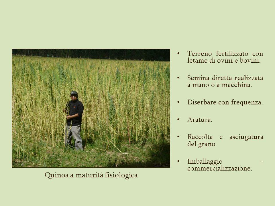 Quinoa a maturità fisiologica Terreno fertilizzato con letame di ovini e bovini. Semina diretta realizzata a mano o a macchina. Diserbare con frequenz