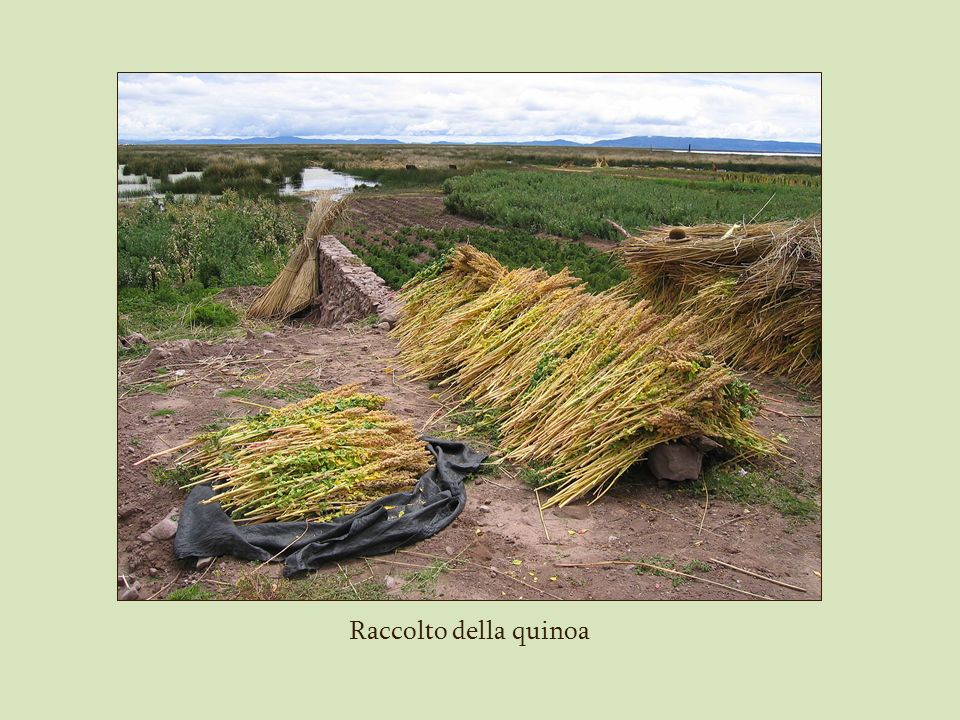 Raccolto della quinoa