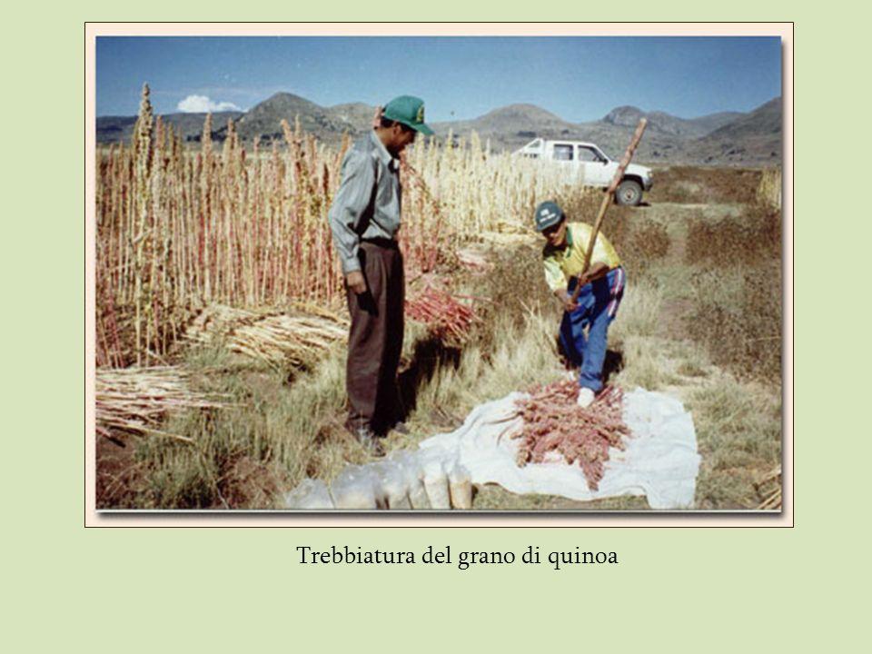 Trebbiatura del grano di quinoa